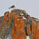 Antarktis 2012 Kelptrut I kopia