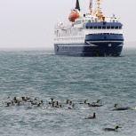 Antarktis 2012 Ocean Nova o simmande pingviner kopia