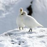 Antarktis 2012 Slidnäbbar I kopia