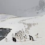 Antarktis 2012 Åsnepingviner på Ceuverville Island kopia