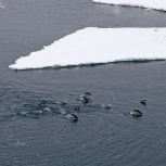 Antarktis 2012 Åsnepingviner simmar kopia