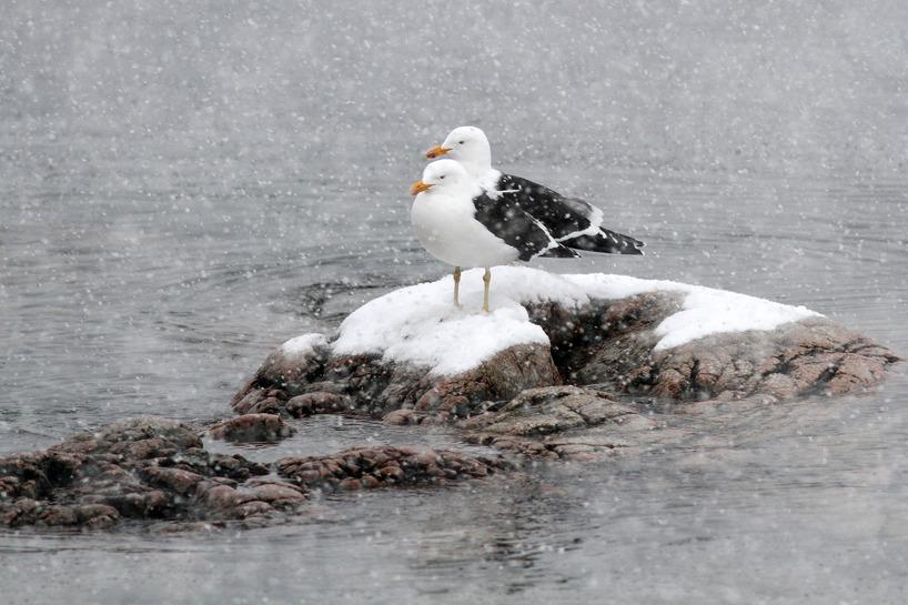 Två kelptrutar på en sten i Antarktis - Det snöar ymnigt.