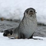 Antarktis 2012 Pälssäl unge blöt III kopia
