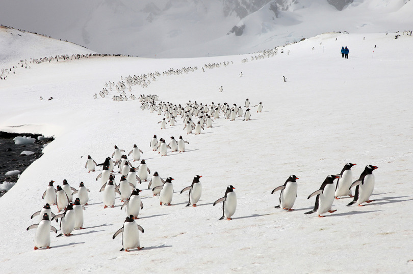10 000-tals åsnepingviner kommer upp ur havet för att besätta sina häckningsplatser.