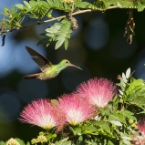 CR 2015 Rufous-tailed Hummingbird I 150 dpi kvadrat kopia