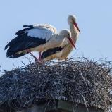 Vit stork i Skånes Viby 160326 kopia