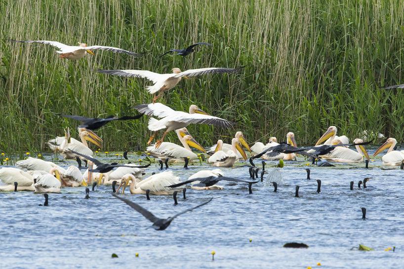 Pelikaner och skarvar kan på några minuter samlas i stora flockar för gemensamt fiskafänge.