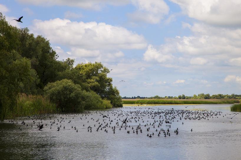 Storskarvar på fiskafänge i det trädbevuxna deltat.
