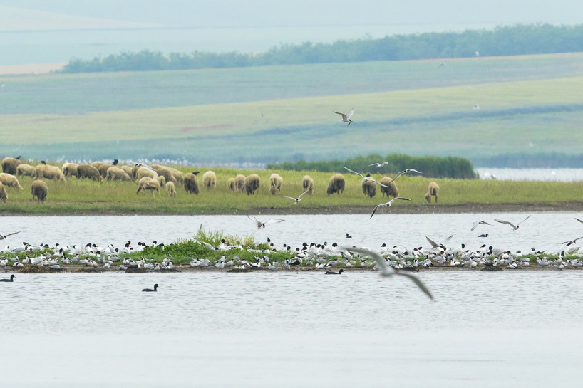 Sodasjön vid Murighiol med mängder av häckande fåglar men också övervintring för rödhalsad gås.