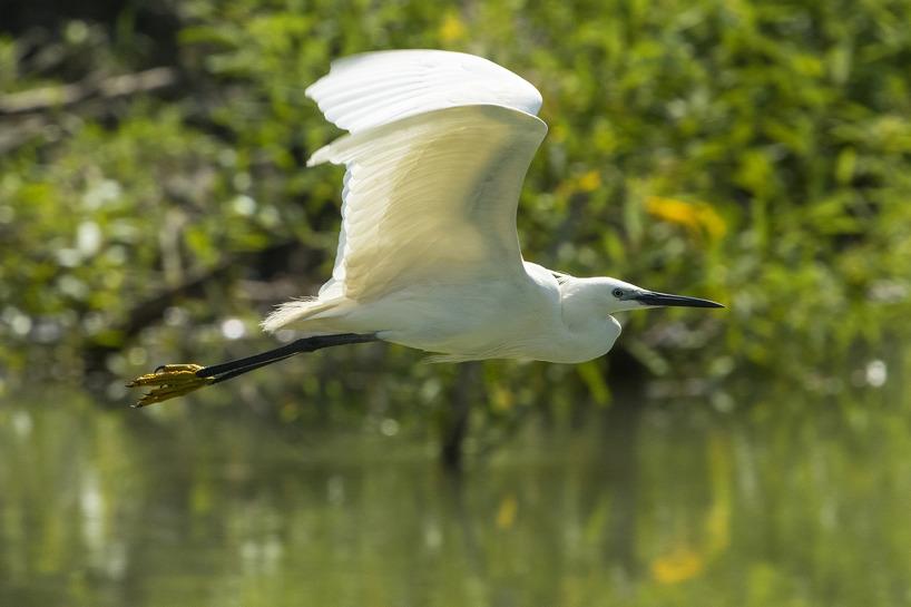 En silkeshäger tar till vingarna.