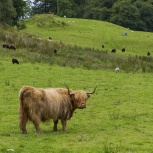SKOTTLAND 2016 Highland Cattle II kopia