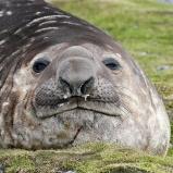 Antarktis 2012 Elefantsäl hane I