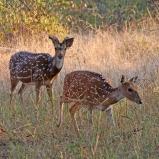 Axishjortar i Barahtpuhr, Indien