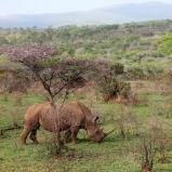 SYDAFRIKA 2014 Brednoshörning på savannen I