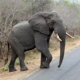 SYDAFRIKA 2014 Elefant, stor hanne I