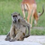 Babian, Botswana
