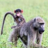 Babian med unge, Botswana