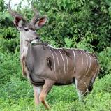Stor kudu, Botswana