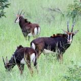 Sabelantloper, Chobe NP, Botswana