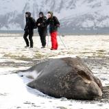 Antarktis 2012 Elefantsäl och damer