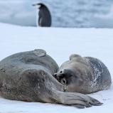 Antarktis 2012 Weddellsälar II