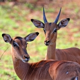 SYDAFRIKA 2014 Impalantiloper IV
