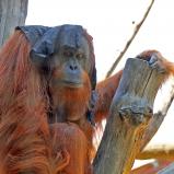 Orangutang kopia