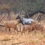 INDIEN Blue bull familj
