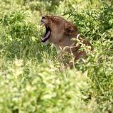 Lejon gäspar, Botswana