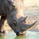 SYDAFRIKA 2014 Noshörning nära XX