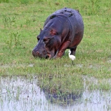 Flodhäst, Botswana