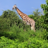 Giraff, Botswana