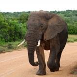 SYDAFRIKA 2014 Elefant stor nära