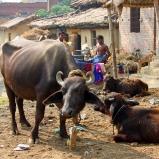 Tambuffel Indien 2007