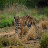 Tiger Indien 2007