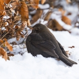 Koltrast, hona i snö V 170209 kopia