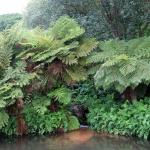 SYDAFRIKA 2014 Trädgårdsormbunkar I 150 dpi kopia