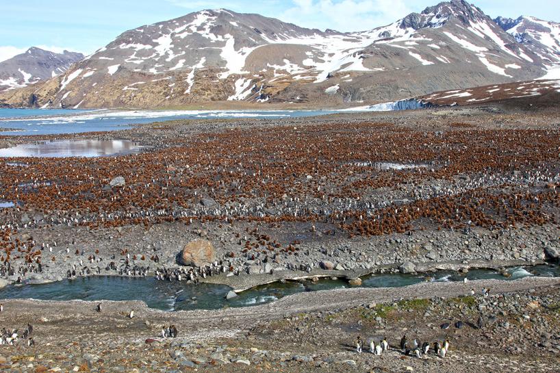 På Sydgeorgien finns en av världens största kolonier av kungspingviner.