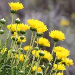 Antarktis 2012 Patagonska blommor kopia