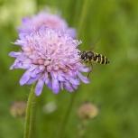Blomfluga sp I 170706