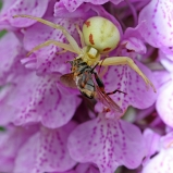 Krabbspindel med blomfluga