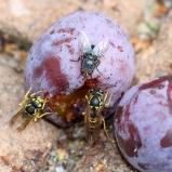 Getingar och fluga sp