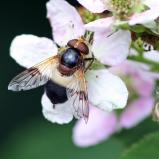 Fönsterblomfluga