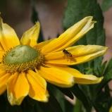 Blomfluga sp