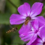 Flyttblomflugor köbildning 150804 kopia