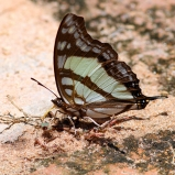 Fjäril I sp, Botswana