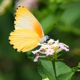 Fjäril sp, Botswana