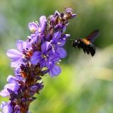 SYDAFRIKA 2014 Humla el långtungebi sp i blomma