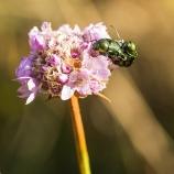 Gröna smaragdfallbaggar II 170719
