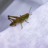 Gräshoppa sp I 170802